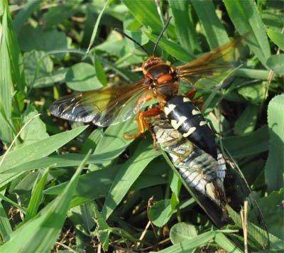 Cicada Killer Wasps