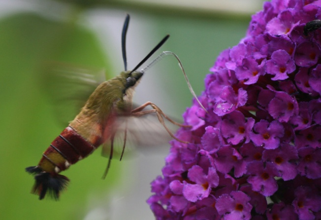 hummingbird_clearwing_new_york
